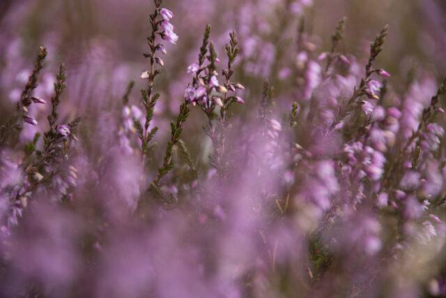 Ljung närbild på lila ljung