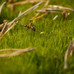 En myra som springer över grön mossa och tallbarr