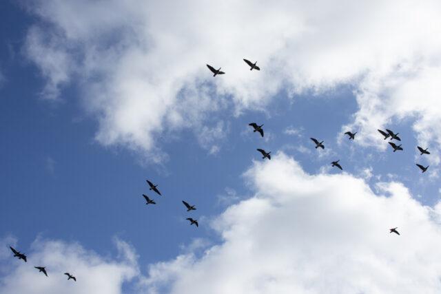 Blå himmel med vita moln fåglar som flyger
