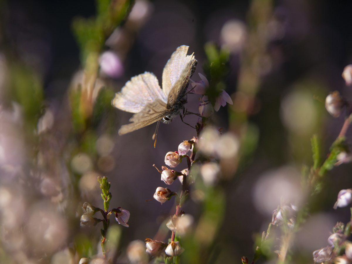 Ljungfjäril rosa dröm DSC_4048